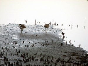 Photo of two lapwing birds in the wetlands