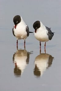 Image of two birds looking at their reflections in the water.