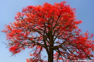Image of a flame tree in bloom